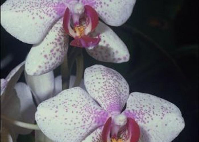 Об орхидеях