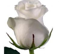 AKITO Роза белая