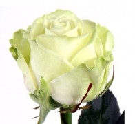 AVALANCHE+ Роза белая