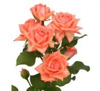 BARBADOS Роза оранжевая