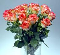 BLUSH  Роза бело-красная