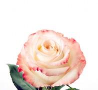 CARRUSEL Роза бело-розовая