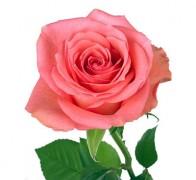 DEKORA Роза розовая