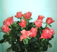 DUETT Роза красно-белая