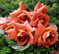 ESPRESSO Роза бледно-оранжевая