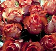 IGUANA Роза бело-красная