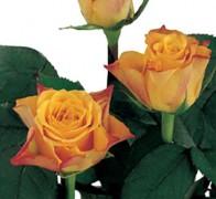 MARIE-CLAIRE! Роза желто-красная