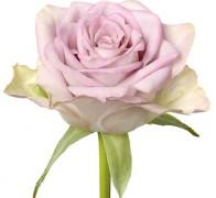 MEMORY LANE Роза розовая