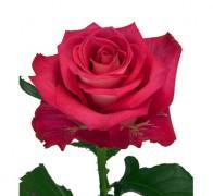 ORCHESTRA Роза красная