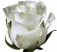 POLAR STAR Роза белая