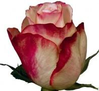 ADV SWEETNESS Роза бело-розовая