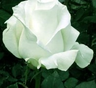 AQUA! Роза белая