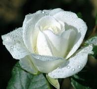 DYED Роза белая