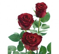 MADAM RED Роза красная