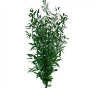RUSCUS ITALY p/bunch