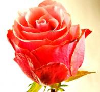 M STAR Роза розовая