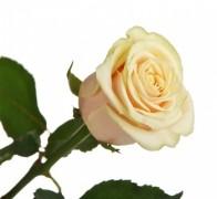 TALEA+ Роза кремовая