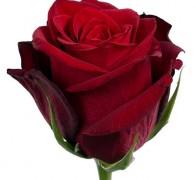 UPPER CLASS Роза красная